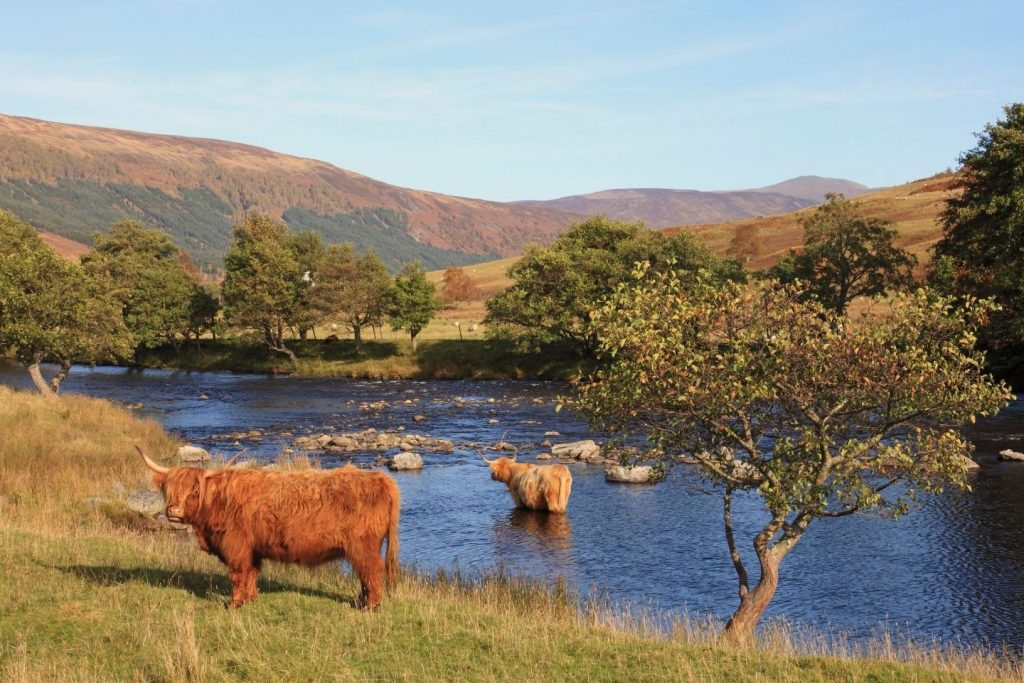 Highland coos in Glen Lyon, Perthshire
